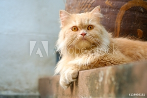 Bild på Brown alert persian cat sitting on the concrete floor looking toward camera